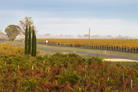 tannin: Foggy view of vineyard in the morning. These wine grapes are growing on limestone coast in Coonawarra winery region during Autumn in South Australia Stock Photo