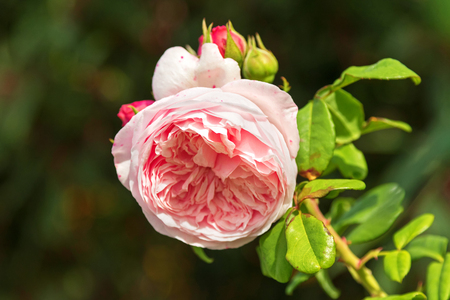 english rose: Selective focus of pale pink English Rose blossoming in the garden with blurred background Stock Photo