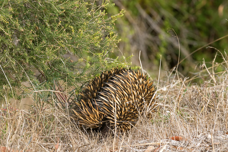 spines: Closeup of spines and fur of Echidna (spiny anteaters) walking in the wild in Australia Stock Photo