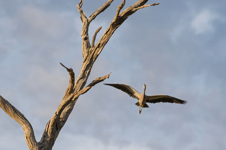 ardeidae: White faced heron, also called white-fronted heron, flying near dried branch, South Australia