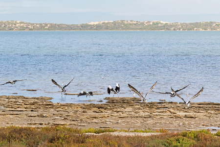 water birds: Large Australian Pelican water birds flying near waterfront at Coorong national park in South Australia