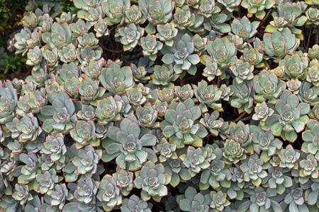 branching: Closeup of Aeonium Haworthii plant in grey green leaves and red spiky tip grown in Australia