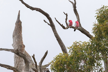 autumn colour: A pair of Galah birds ( Rose breasted cockatoo ) in gray and pink plumage perching on dried branches in South Australia