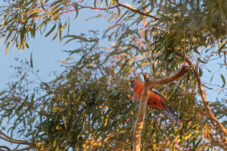 lowry: Evening view of Crimson Rosella parrot bird in orange color perching on Eucalyptus tree in South Australia