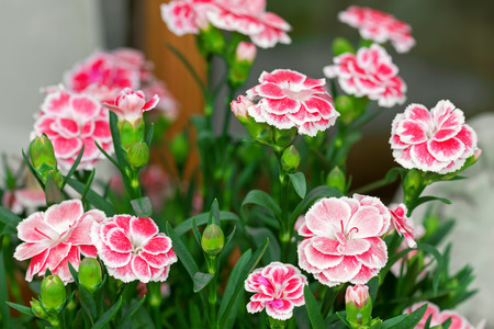herbaceous border: Closeup photo of Carnation flowers in pink with white border (Dianthus caryophyllus) blooming during summer in Austria, Europe