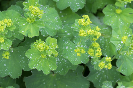 alchemilla: Closeup photo of Ladys mantle leaves and yellow flower buds with drops of water (Alchemilla vulgaris) during summer in Austria, Europe  Stock Photo