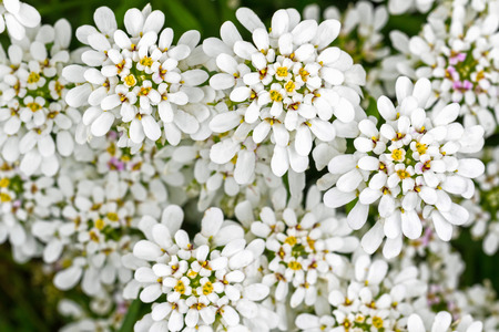 flowerhead: Soft focus of Evergreen Candytuft flower, Iberis, in white petals with yellow pollens (Iberis sempervirens) during summer in Austria, Europe Stock Photo