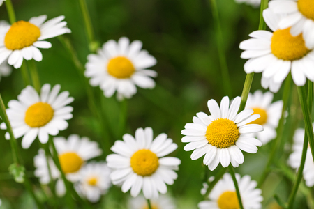 ox eye: Selective focus of Oxeye daisy flower in yellow and white color in the meadow during summer in Austria, Europe