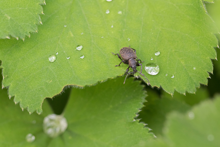 ladys: Closeup of small brown European beetle, Black Vine Weevil, on green Ladys mantle leaves
