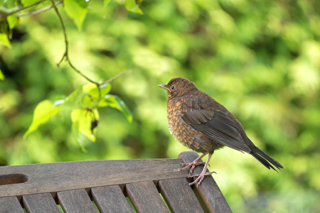 subspecies: Cute little female Eurasian Blackbird, Juvenile Common Blackbird with yellow eye ring (Turdus merula) in Austria, Europe during summer time