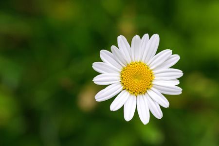 ox eye: Single Oxeye daisy flower in yellow and white color with blurred green meadow during summer in Austria, Europe