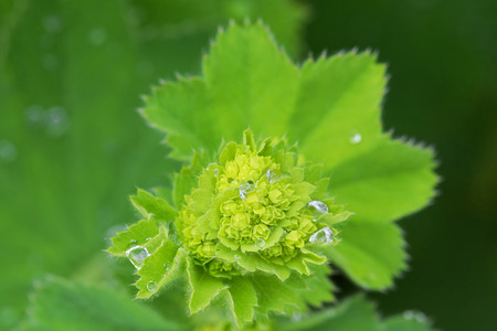 mantles: Wet Ladys mantles leaves in green with small yellow flower buds (Alchemilla vulgaris) during summer in Austria, Europe Stock Photo