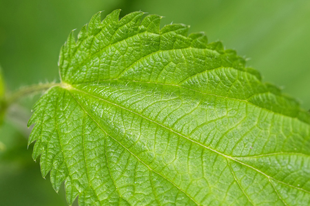 stinging: Closeup of Common nettle plants with defensive stinging hairs on green leaves and stems during summer in Austria, Europe