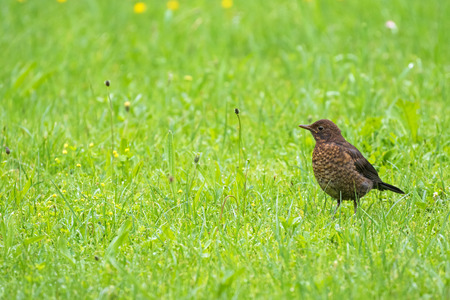 subspecies: Cute little female Eurasian Blackbird, Juvenile Common Blackbird with yellow eye ring (Turdus merula) walking in green meadow in Austria, Europe during summer time