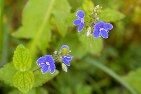 plantaginaceae: Closeup of Germander Speedwell (Veronica chamaedrys) flower in blue purple blossoming in the garden in Austria, Europe during summer time Stock Photo
