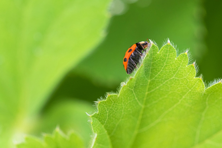 coccinellidae: Red Ladybird, Ladybug (Coccinellidae) crawling on green leaf of Currant in the garden, in Austria, Europe during summer time