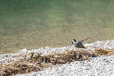 motacillidae: Cute little White Wagtail bird (Motacilla alba) wagging its tail by the lake in Austria, Europe during summer