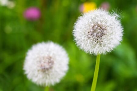 macros: Selective focus of fluffy blowball (clock) of Dandelion flower with blurred green meadow background during summer in Austria, Europe (Taraxacum officinale) Stock Photo
