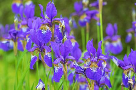 blooming  purple: Soft focus of purple Iris flower with yellow shade blooming during raining summer in Austria, Europe Stock Photo