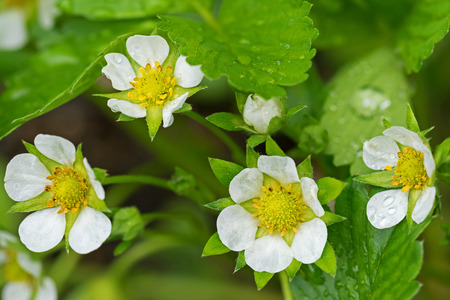 europe closeup: Closeup of home grown Strawberry flowers blossoming in the garden with raindrops during summer in Europe