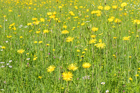 flowerhead: Green meadow with colorful alpine wild flowers during summer in Austria, Europe  Stock Photo