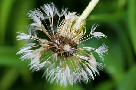 blowball: Wet blowball (clock) of Dandelion flower head with many small florets after the rain during summer in Austria, Europe (Taraxacum officinale) Stock Photo