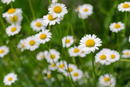 oxeye: Selective focus of Oxeye daisy flower in yellow and white color in the meadow during summer in Austria, Europe