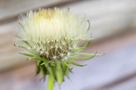 blowball: Selective focus of blowball (clock) of Dandelion flower with blurred background during summer in Austria, Europe (Taraxacum officinale) Stock Photo