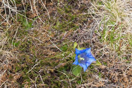 europe closeup: Closeup of Gentiana, alpine flower in intense blue growing on the Alps in Austria, Europe