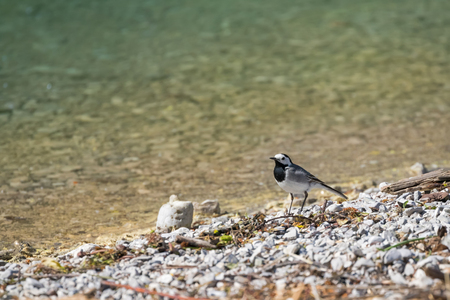 motacillidae: Cute little White Wagtail bird in black, gray, white (Motacilla alba) by the lake in Austria, Europe during summer