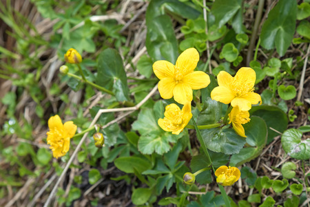 palustris: Closeup of Marsh Marigold flowers in yellow growing on wet woodland blossoming during summer in Austria, Europe. (Caltha palustris)