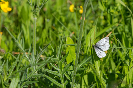pieridae: Green-veined white butterfly (Pieris napi) pearching on green grass in the summer meadow in Austria, Europe Stock Photo