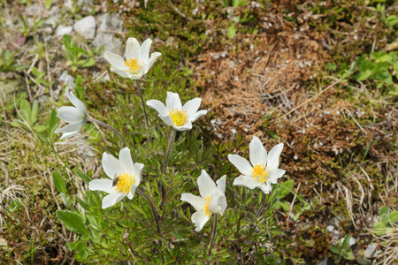 pasqueflower: Closeup of Alpine pasqueflower in white with yellow stamens blossoming on Alps during summer in Austria, Europe