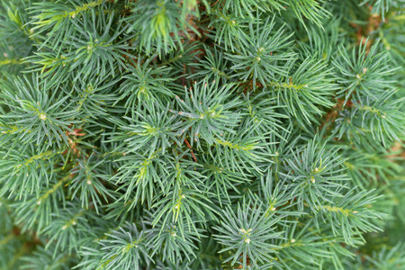 若い松盆栽のクローズ アップ テクスチャのヨーロッパの夏の間に緑の色の葉します。