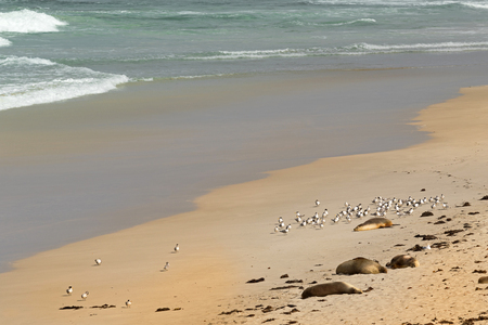 seabird: Australian Sea Lions sunbathing on sand with a flock of Lesser Crested Terns seabird at Seal Bay, Sea lion colony on south coast of Kangaroo Island, South Australia Stock Photo