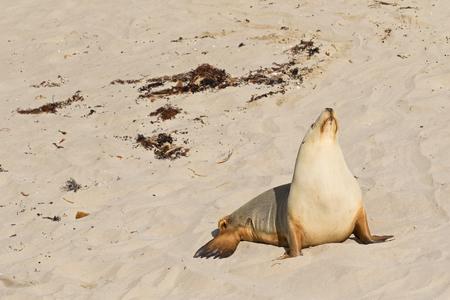 kangaroo island: Australian Sea Lion sunbathing on sand at Seal Bay, Sea lion colony on south coast of Kangaroo Island, South Australia Stock Photo