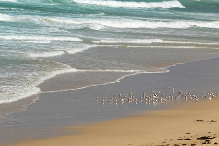 seabird: A flock of Lesser Crested Terns seabird at Seal Bay, Sea lion colony on south coast of Kangaroo Island, South Australia Stock Photo