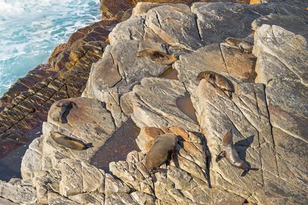 australasian: A group of New Zealand fur seals sunbathing on Colony rocks near the ocean at Admirals Arch, coast of Kangaroo Island, South Australia
