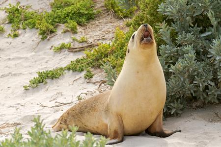 kangaroo island: Sleepy time for Australian Sea Lion yawning with mouth opened on sand at Seal Bay, Sea lion colony on south coast of Kangaroo Island, South Australia