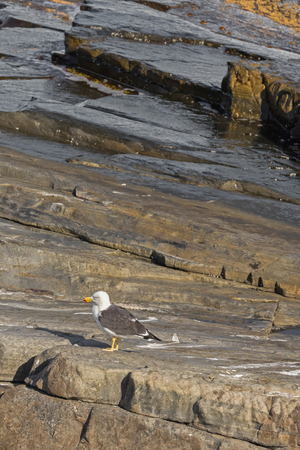 australasian: White Pacific Gull with red-tipped yellow bill standing on rock near the ocean at Admirals Arch, coast of Kangaroo Island, South Australia