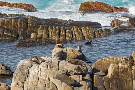 australasian: A group of New Zealand fur seals swimming, sunbathing on Colony rocks near the ocean at Admirals Arch, coast of Kangaroo Island, South Australia Stock Photo