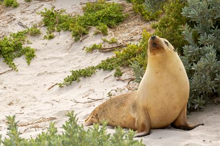 kangaroo island: Sleepy moment for Australian Sea Lion resting on warm sand at Seal Bay, Sea lion colony on south coast of Kangaroo Island, South Australia