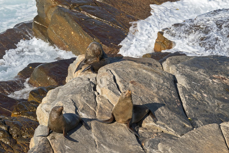 australasian: New Zealand fur seals sunbathing on Colony rocks near the ocean at Admirals Arch, coast of Kangaroo Island, South Australia Stock Photo