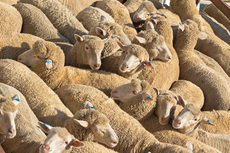 transported: Closeup of a herd of Australian sheep standing in the sun on a truck before being transported to another place Stock Photo