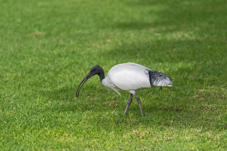 black plumage: Australian White Ibis with white plumage and black head walking on green grass in the afternoon in South Australia.