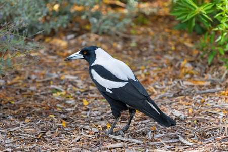 black plumage: Closeup of Male Australian magpie bird in black and white plumage walking in the park during Autumn in South Australia