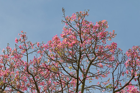 View of pink flowers from Silk Floss tree against blue sky during Autumn in South Australia Stock Photo