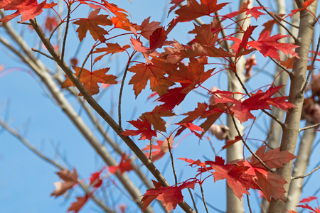 acer saccharum: Red Autumn leaves of Sugar maple, Rock maple tree against blue sky in South Australia