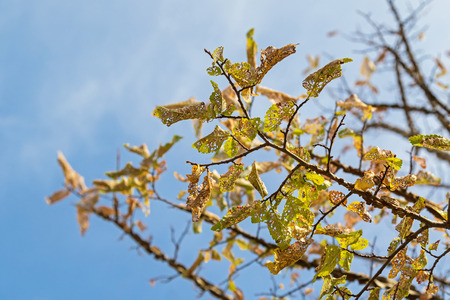 Damaged yellow Autumn leaves of Elm tree caused by Caterpillar in South Australia, Selective focus with blurred blue sky background Stock Photo