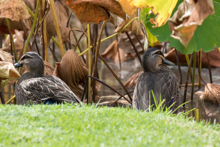 dabbling: Pacific Black Duck, dabbling ducks, sitting on green grass near lotus pond during Autumn in South Australia. (Gallinula tenebrosa)